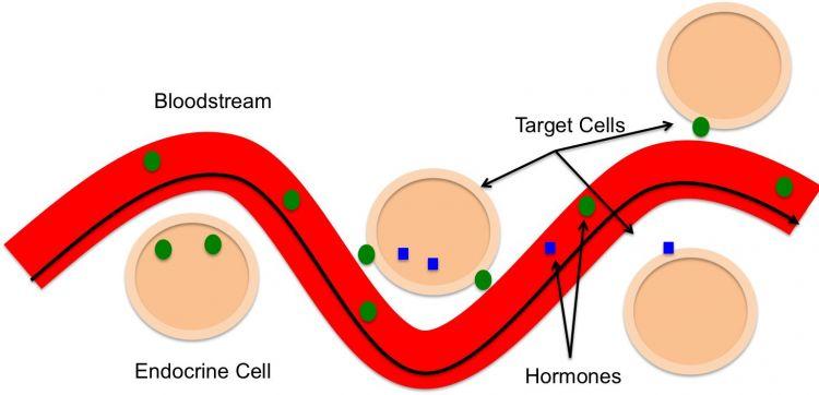 transportasi hormon