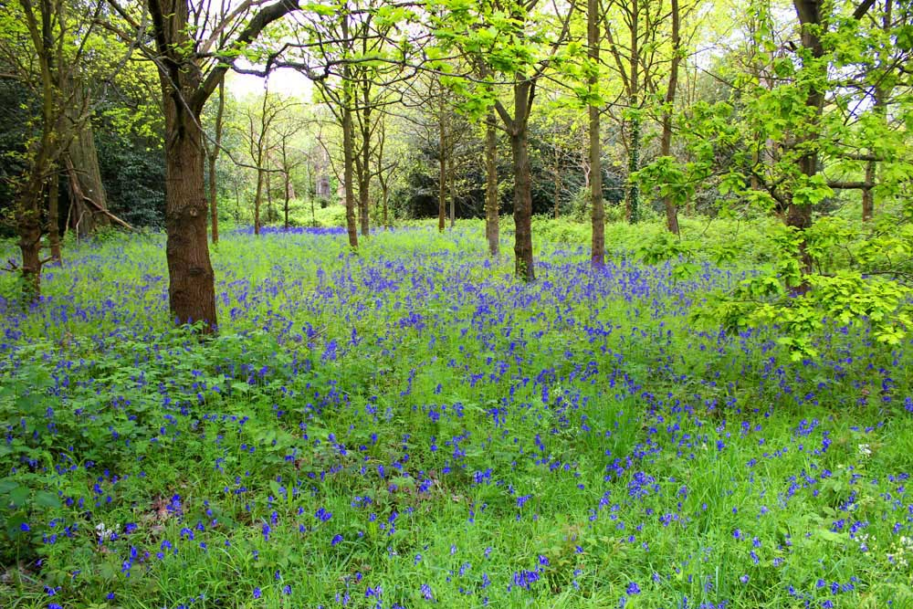Bluebells in Kew Gardens (2/3)