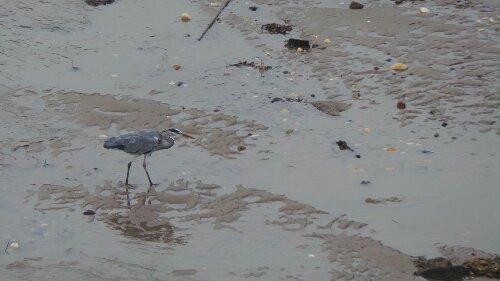 Whilst the public were queuing, this wading heron was just chilling out on the mudflats flanking the station
