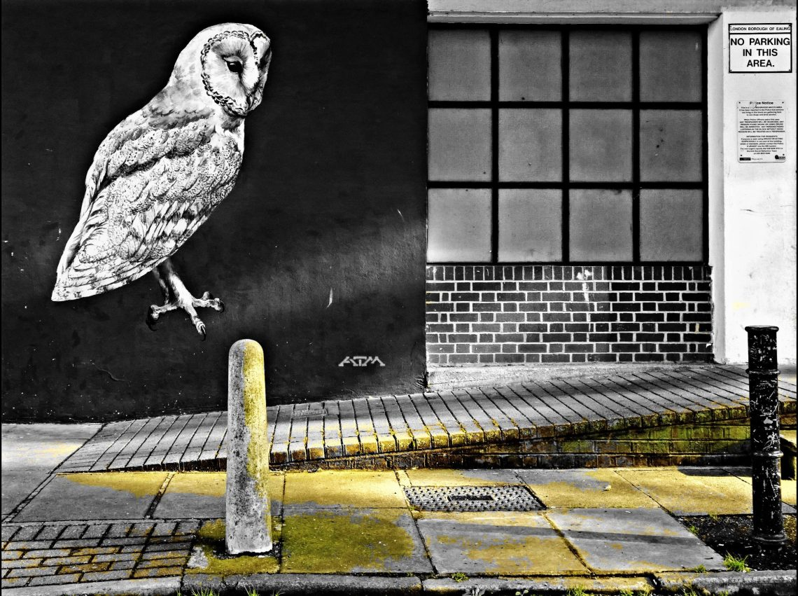 The Barn Owl in Acton