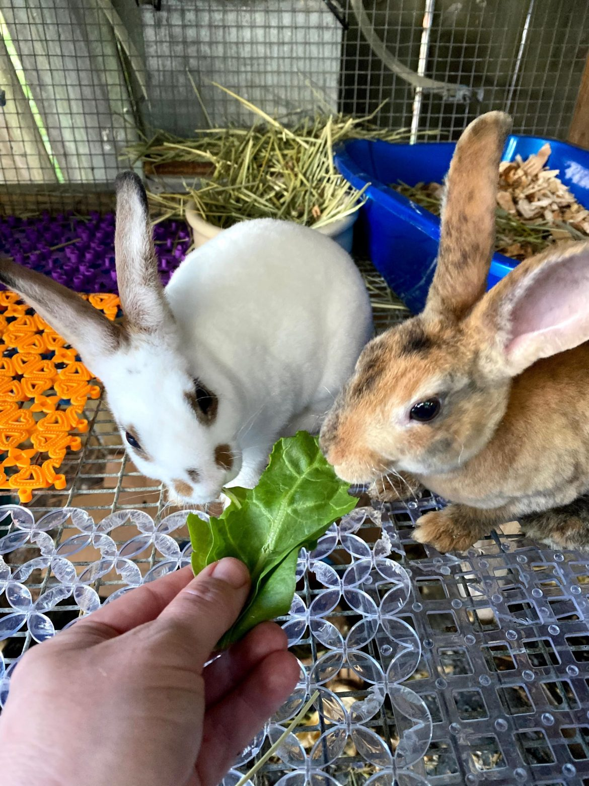 Getting Started With Rabbits and What You Need To Know