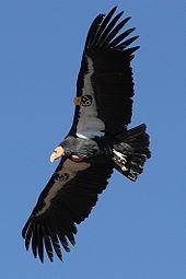 170px condor in flight UNO3h 32853