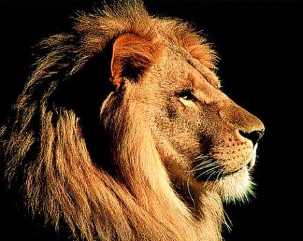 asiatic lions33 26