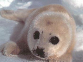 fur seal 2XpBN 3868