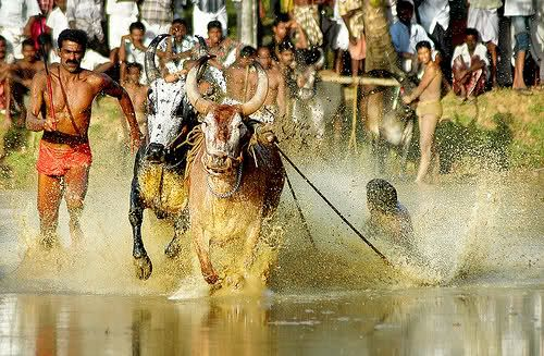 Maramadi is the traditional bull racing event of Kerala