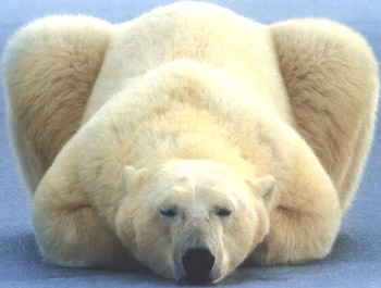 polar bear 5 54GJK 18