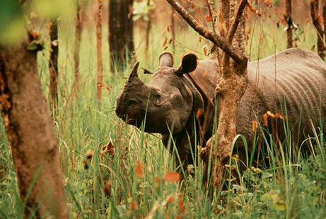 rare one horned rhino 5962