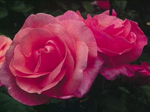 rose 4uEUP 16744