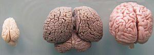 Tursiops_truncatus_brain_size_modified