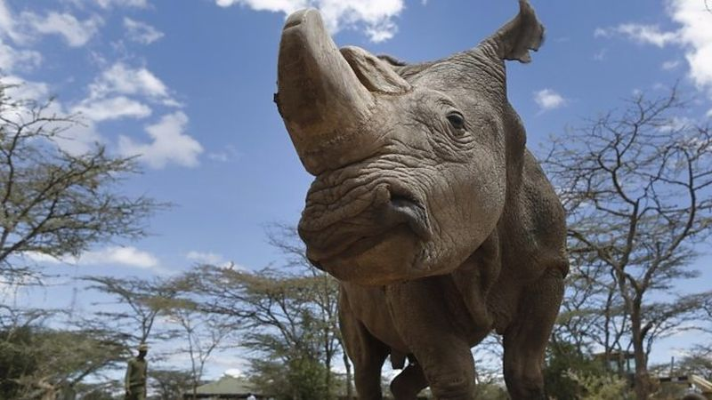 Sudan, the last male Northern White Rhino, dies at 45