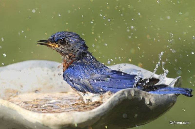 beautiful-bird-in-birdbath