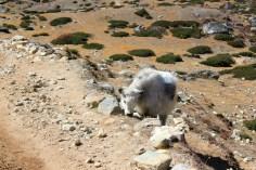 A grazing calf.