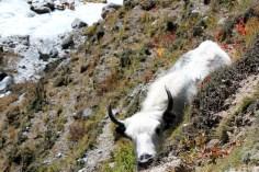 A peeking calf.
