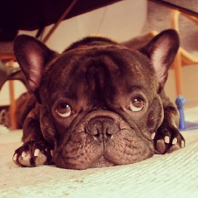 FocusOn 1.68: Boss aka @bossthefrenchbulldog