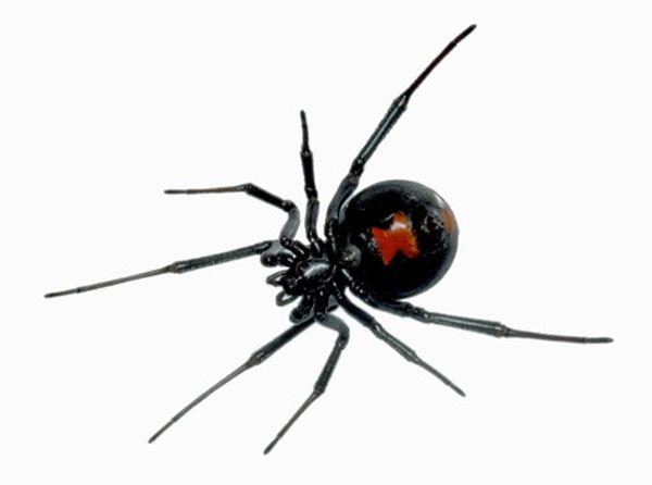 The black widow spider