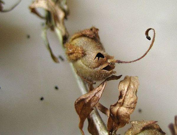 Snap Dragon Seed Pod