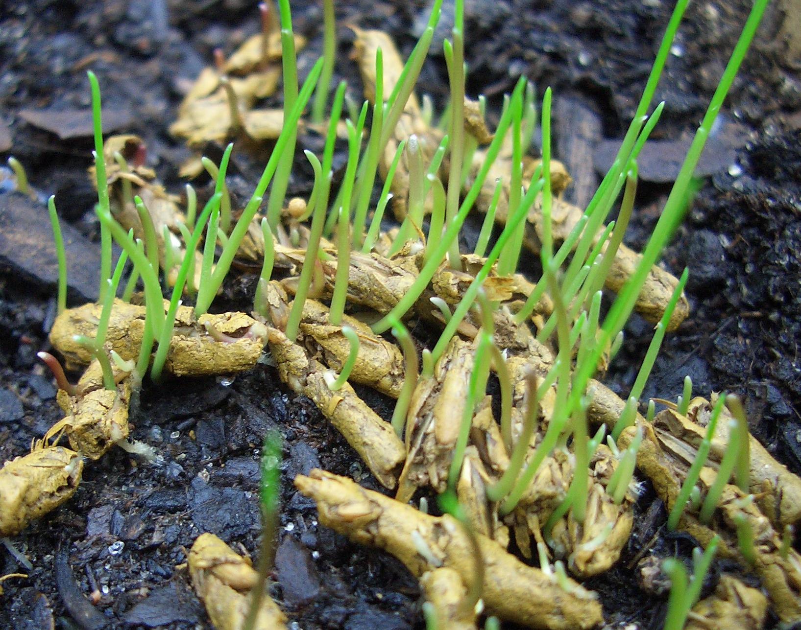 Rasen aus Pellet