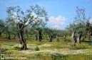 Margaritas en el olivar