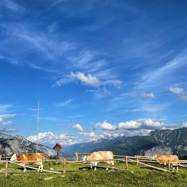 A malga in Friuli with some cows