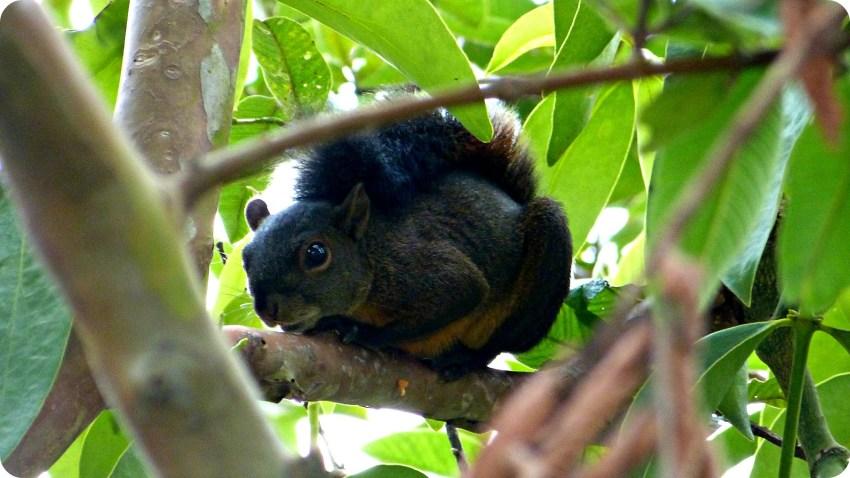 Sciuridae en un árbol del Parque de la Vida en Armenia