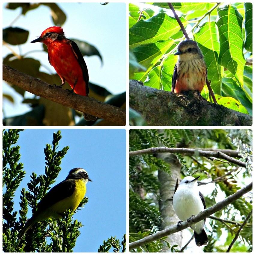 Photos d'oiseaux rencontrés dans le Parque de la Vida à Armenia : Pyrocephalus rubinus, Myiozetetes similis, Fluvicola pica