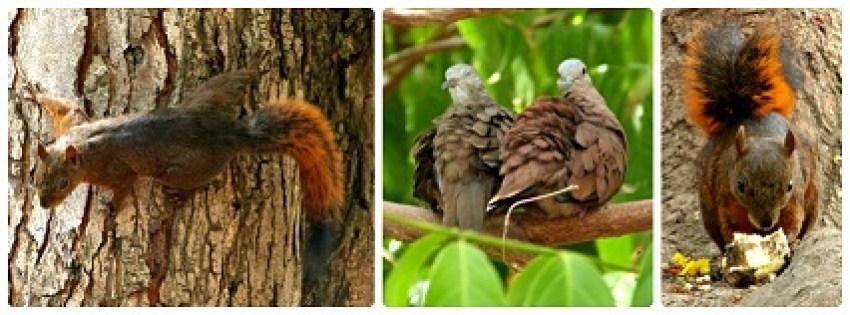 Écureuil et Columbina talpacoti rencontrés à Buga