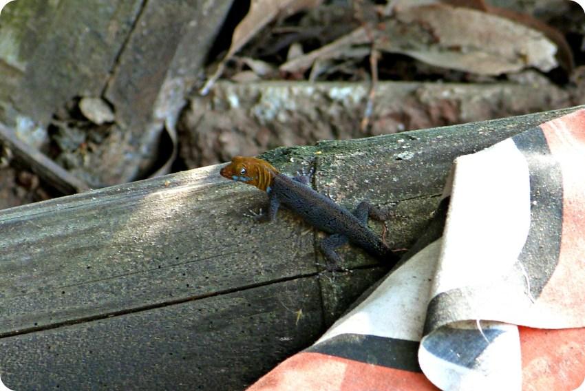 Gecko Gonatodes albogularis sur un rondin de bois dans le village de Portugal