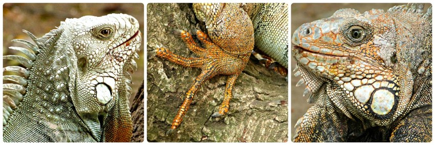 Iguanidae encontrados en un parque de Buga