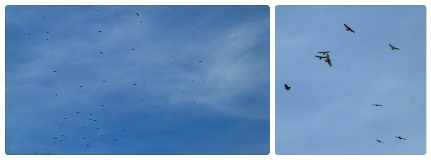 Aves en el cielo de Aguadas : Buteo platypterus