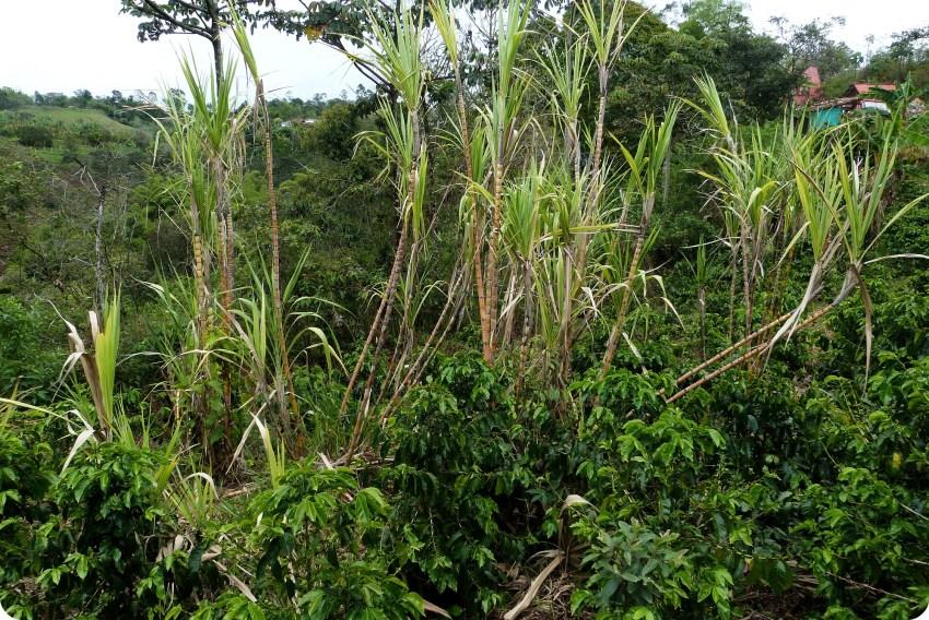 Caña de azúcar en un campo del pueblo El Tambo cerca de Popayán