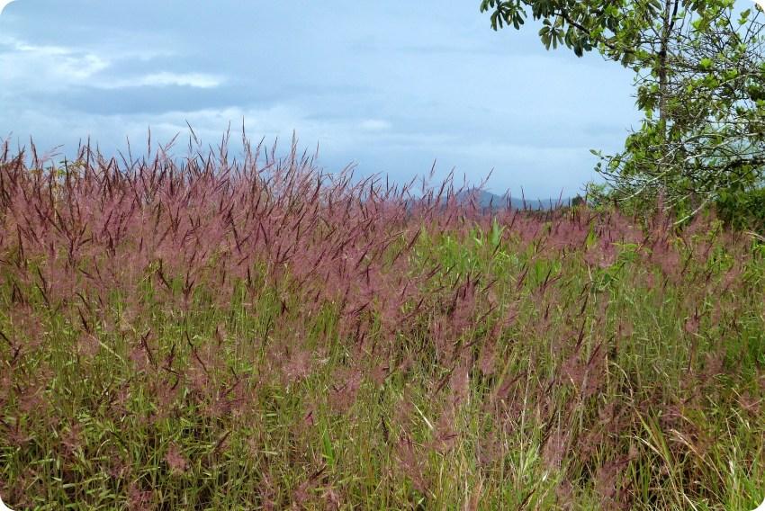 Campo de gramíneas en El Tambo cerca de Popayán