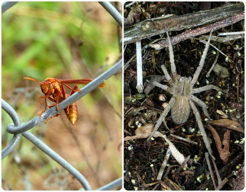 Insectos encontrados en El Tambo cerca de Popayán : Lycosidae
