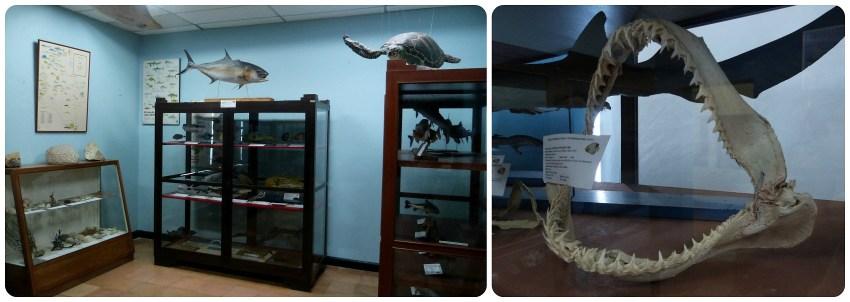 Mâchoire exposée au Musée d'histoire naturelle de Popayán