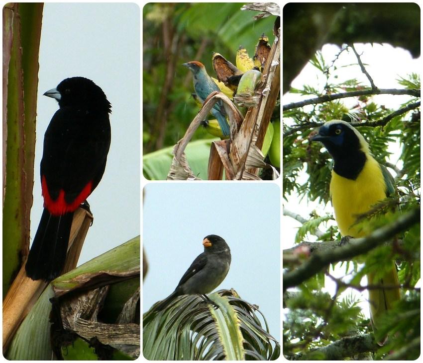Oiseaux rencontrés à El Tambo près de Popayán : Ramphocelus flammigerus, Tangara vitriolina, Oryzoborus crassirostris, Cyanocorax yncas