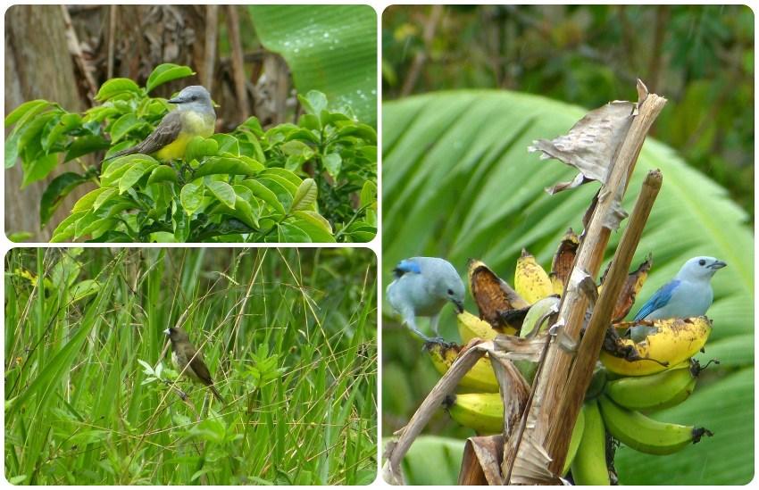 Aves encontradas en El Tambo cerca de Popayán : Tyrannus melancholicus, Sporophila nigricollis, Thraupis episcopus