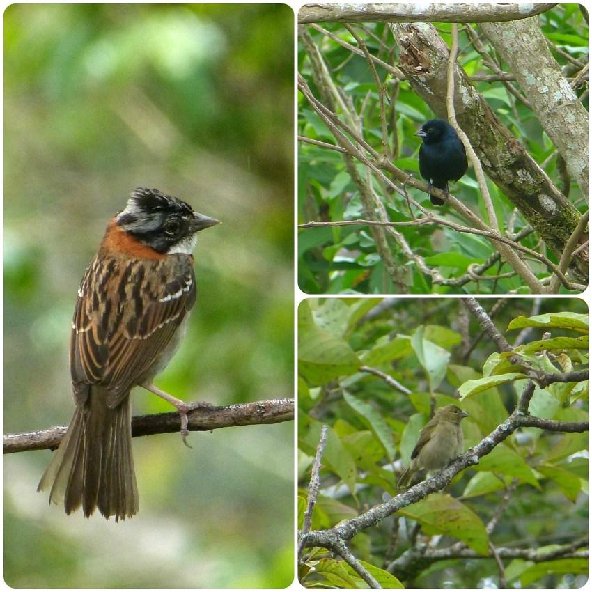 Oiseaux rencontrés à El Tambo près de Popayán : Zonotrichia capensis, Volatinia jacarina