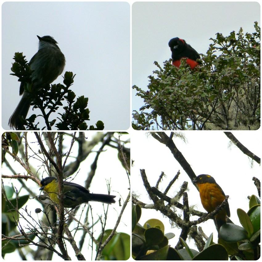 Aves encontradas en el camino hacia los termales de san juan en el parque natural Puracé : Anisognathus igniventris, Atlapetes pallidinucha, Anisognathus lacrymosus
