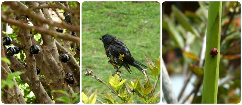 Fruit et animaux rencontrés dans le jardin du restaurant Rancho de Lucho à Popayán : Spinus xanthogastrus