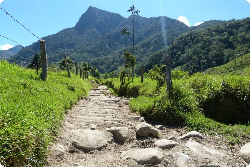 Ceroxylon quindiuense Palmier à cire sur le chemin dans la vallée de Cocora