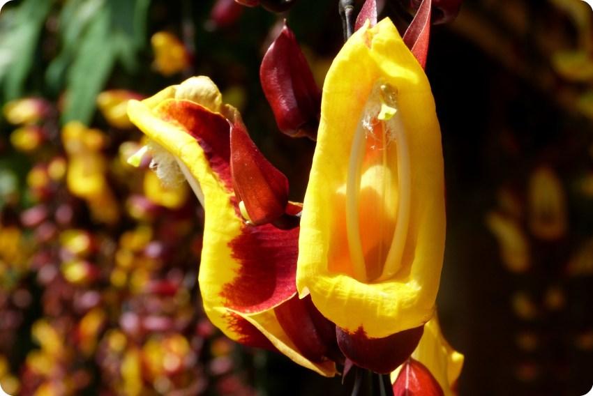 Flor amarilla y roja en el jardín botánico del Quindío en Calarcá