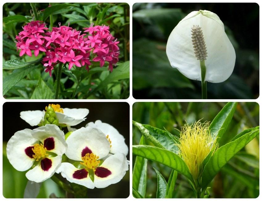 fleurs roses, blanches et jaunes au jardin botanique du Quindío à Calarcá