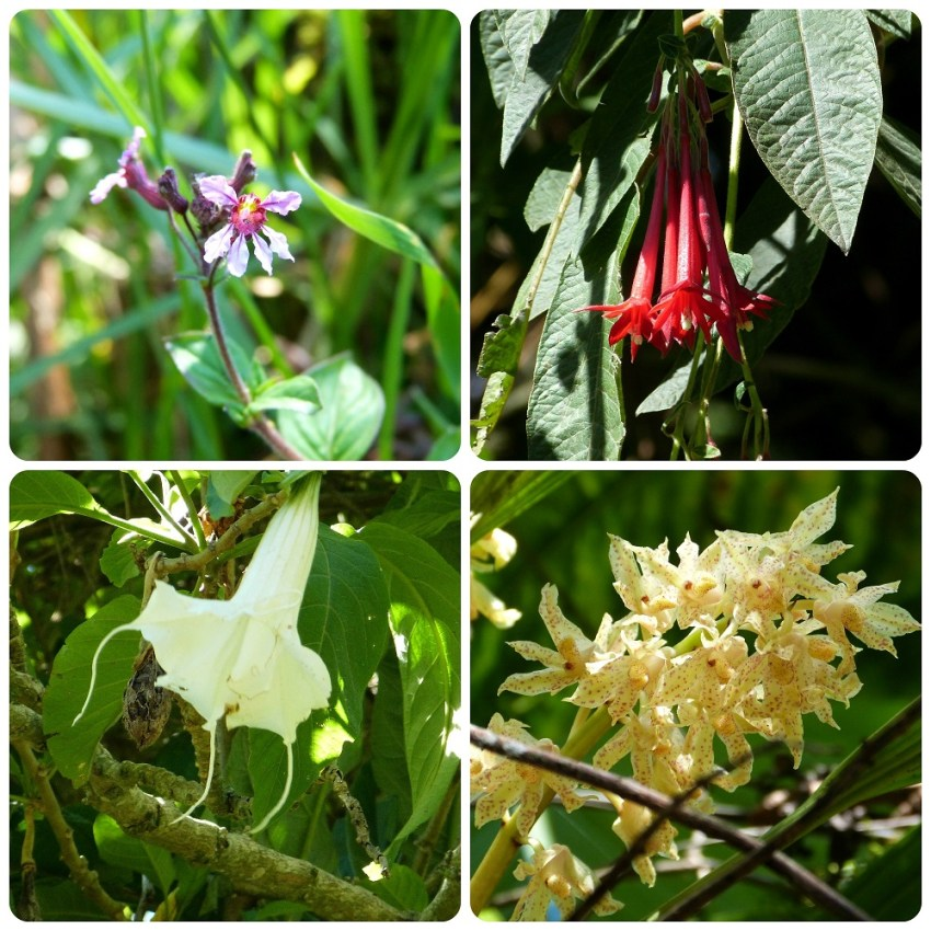 Fleurs de la vallée de Cocora