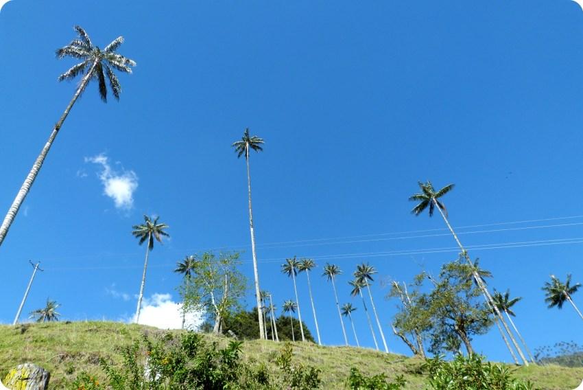Contre plongée sur les palmiers à cire Ceroxylon quindiuense de la vallée de Cocora