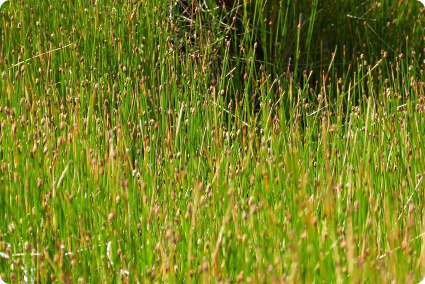hautes herbes à Aguas Tibias de Coconuco