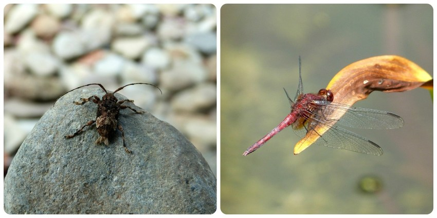 Cerambycidae et Odonata au jardin botanique du Quindío à Calarcá