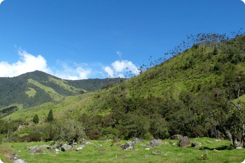 paysage de palmiers à cire Ceroxylon quindiuense dans la vallée de Cocora