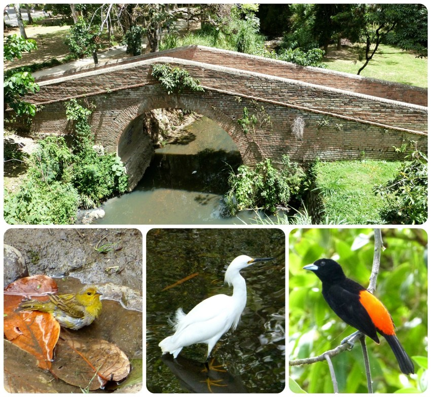 Pont et oiseaux rencontrés dans le centre-ville de Popayán : Sicalis flaveola, Bubulcus ibis, Ramphocelus flammigerus