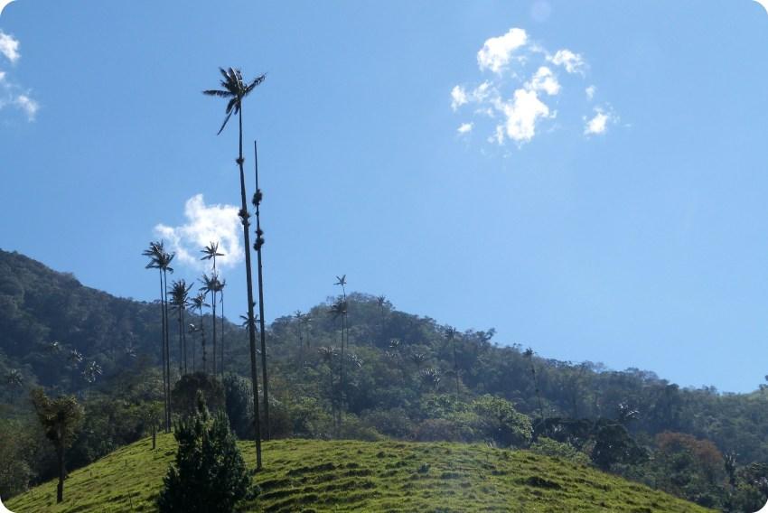 rangée de palmiers à cire Ceroxylon quindiuense dans la vallée de Cocora