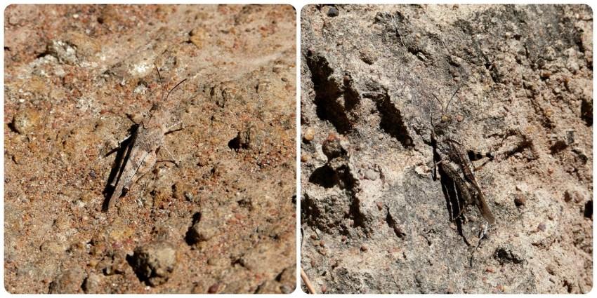 sauterelles dans le désert de la tatacoita de Nemocón