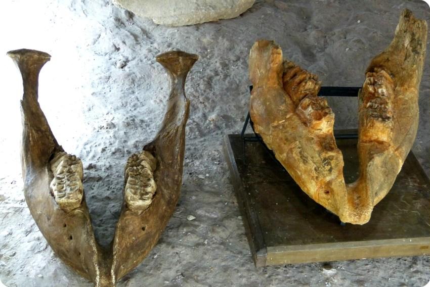 Mâchoires au Museo de Historia natural de Quito